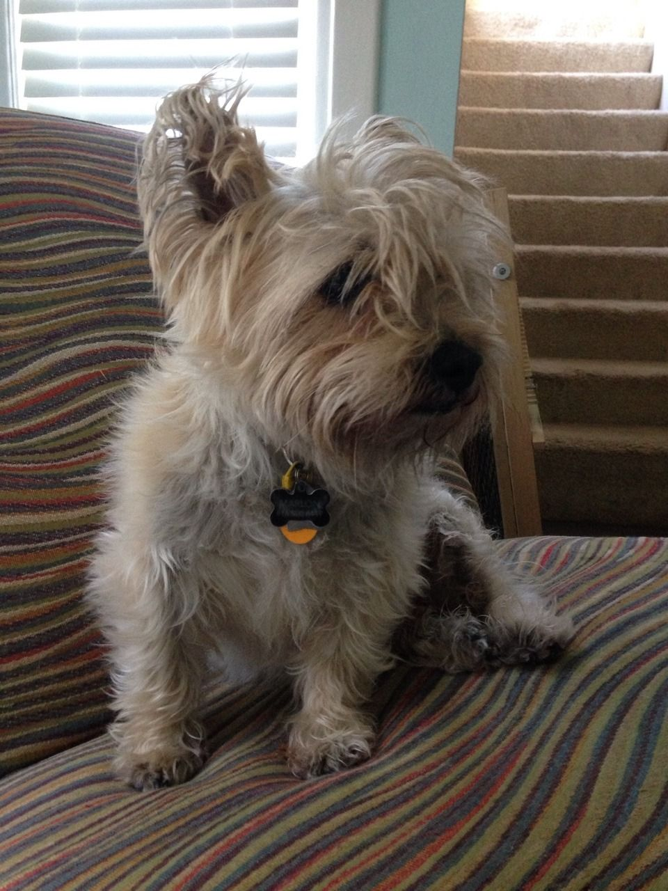 """fuckyeahcairnterriers: """"marlon's hair is so rad today! """" i miss my"""