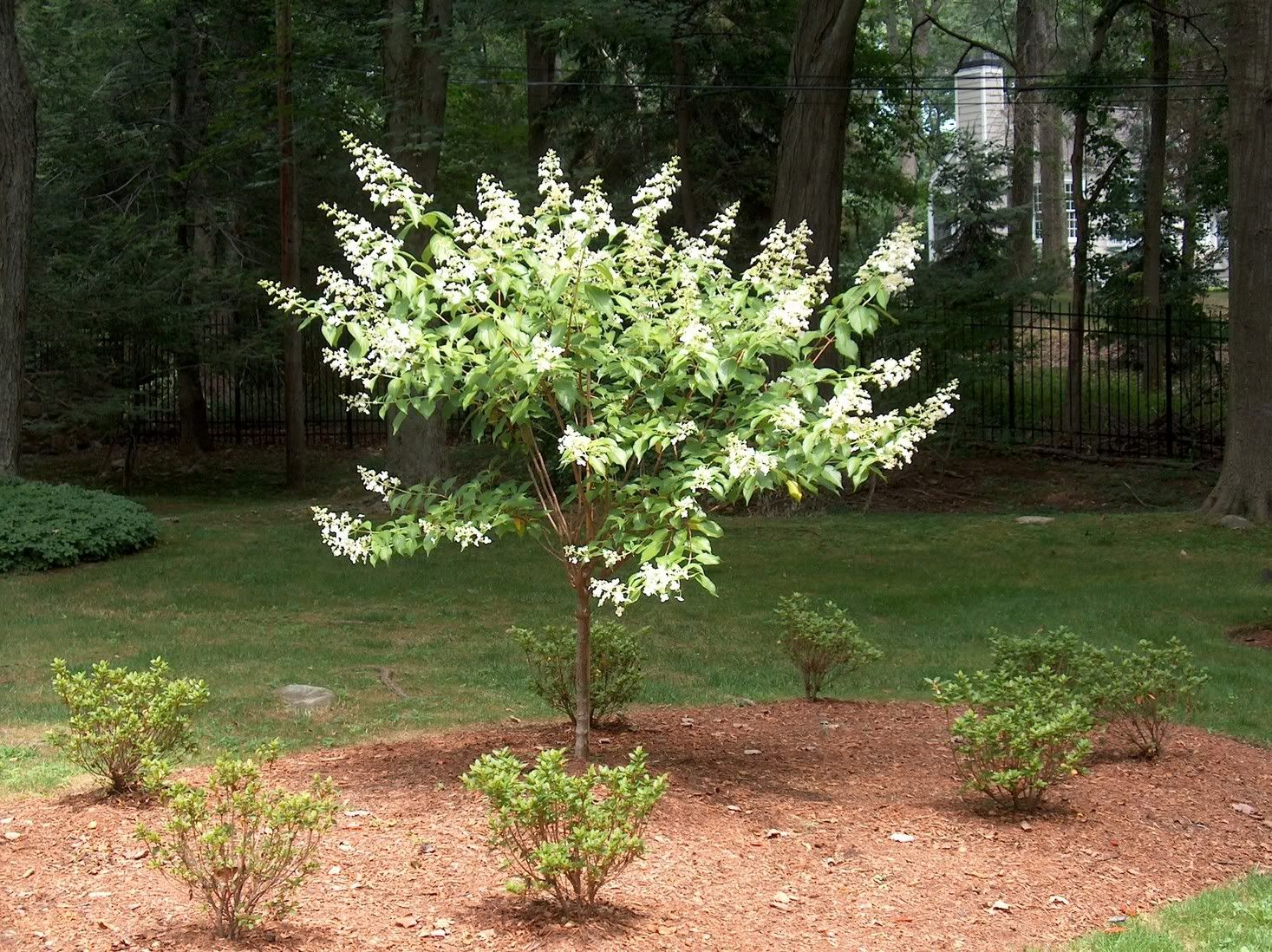 Panicle Hydrangea, Kyushu, trained as a tree. | How Does Your ...