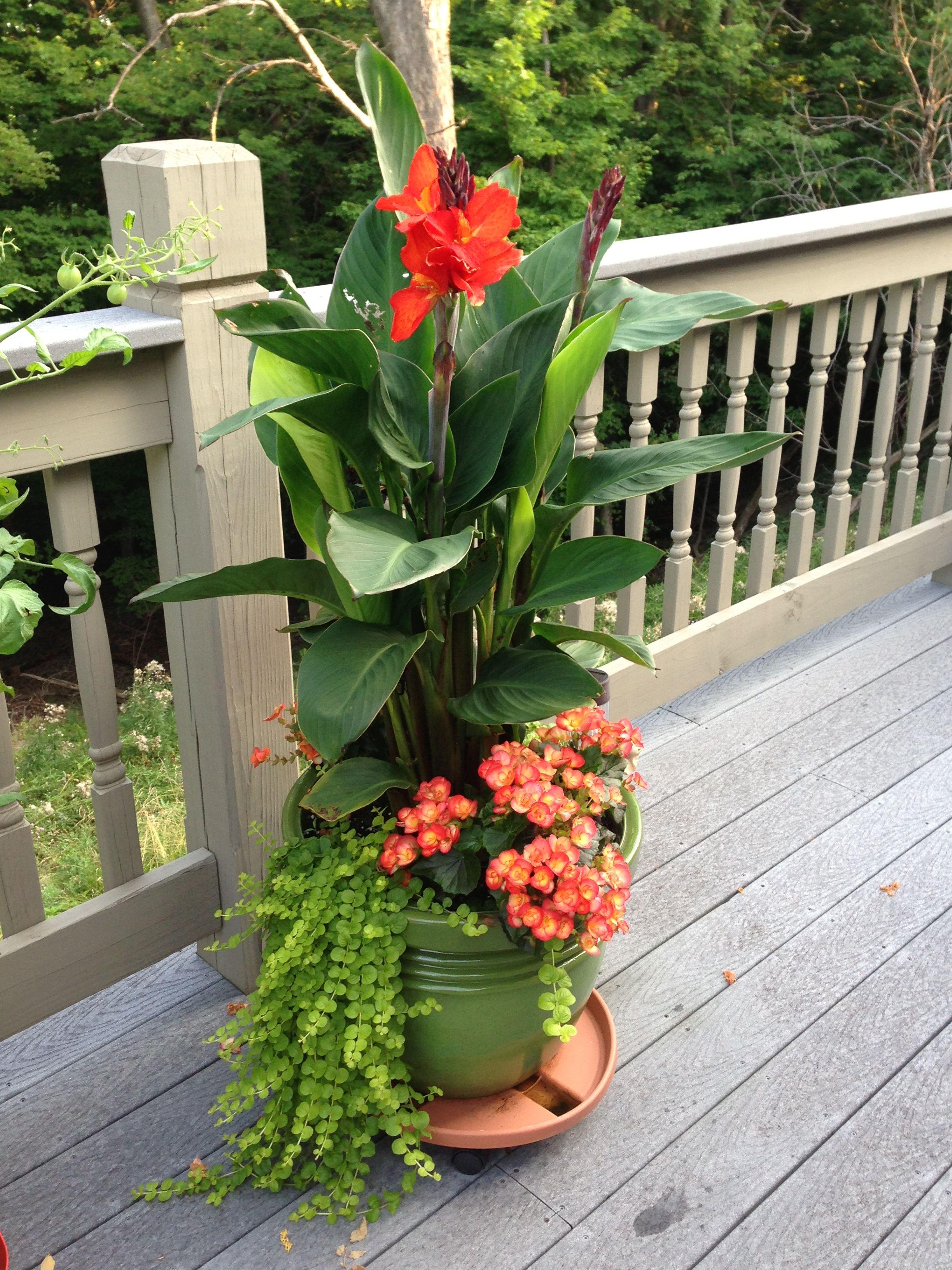 Cana Lilly Creeping Jenny Begonias With Full Sun Make A Lovely Pot I Really Like