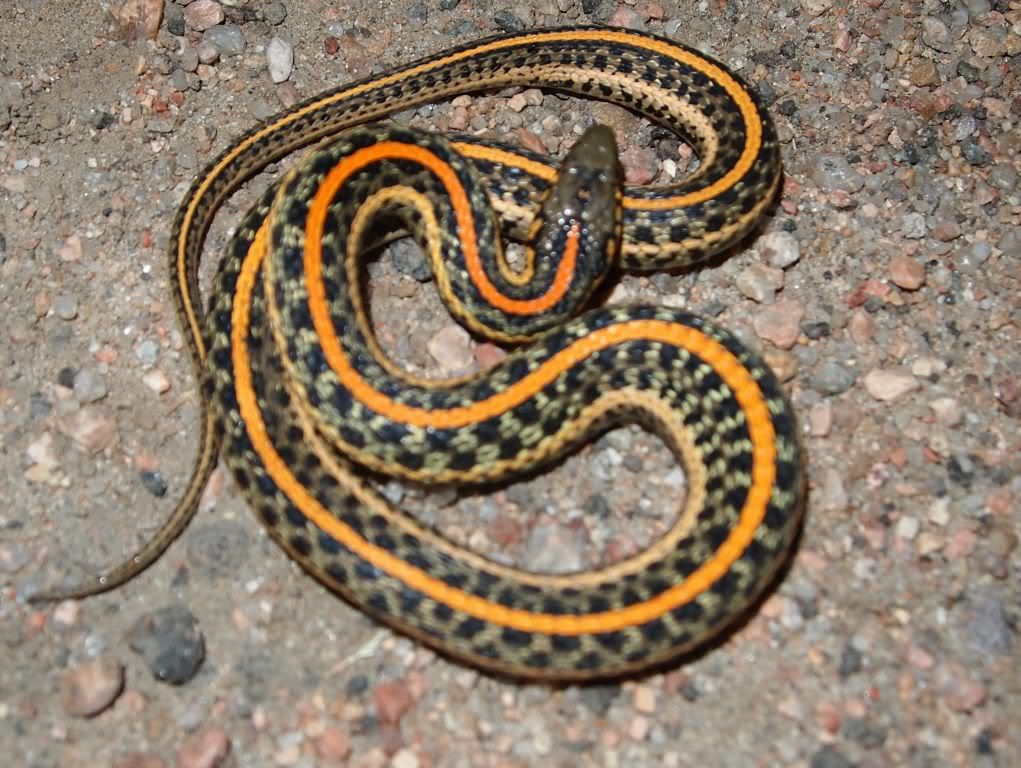 Plains Garter Snake (Thamnophis radix) is a species of