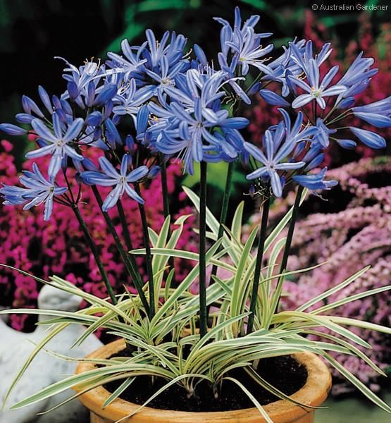 This Varigated Dwarf Agapanthus Tinkerbell Would Be Adorable In Front Of The Picket Fence Agapanthus Agapanthus Africanus Plants
