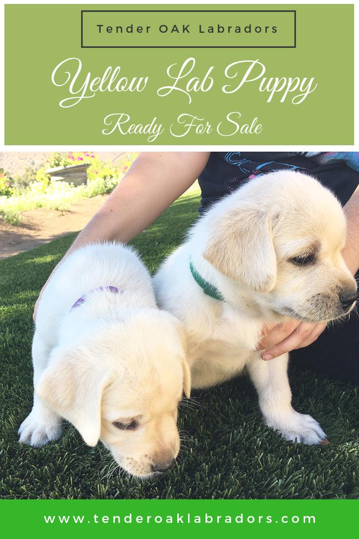 Get Your Labrador Puppies Today