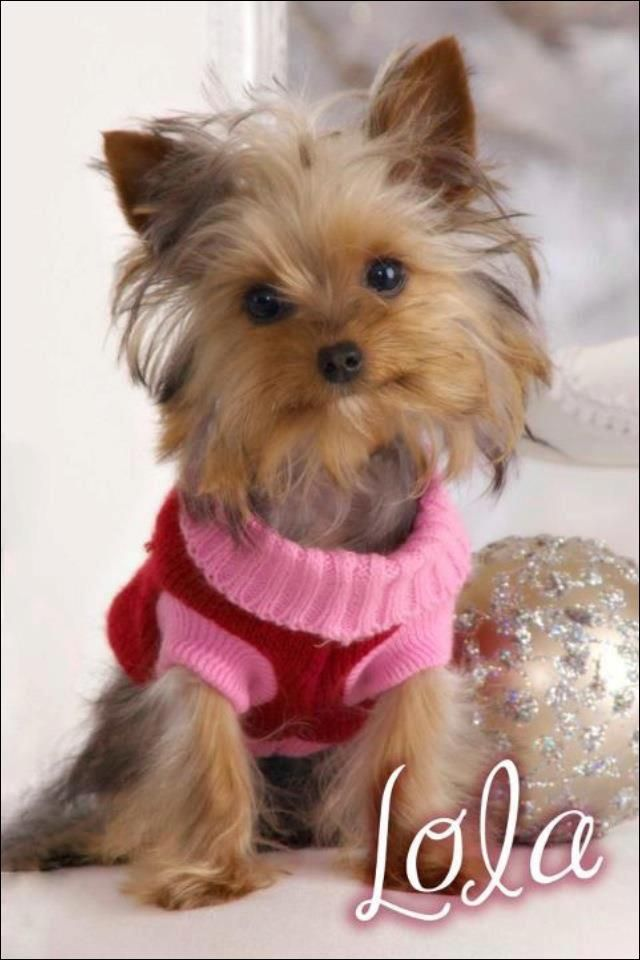 Dog Lost Huntsville Al Hampton Cove Area Lola A Yorkie Has Been Missing For The Past Few Hours And Doesn T Have Her Collar Losing A Dog Yorkie Dogs