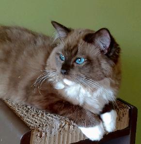 Pin By Cyndi Davidson On Huis Dieren In 2020 Ragdoll Kitten Ragdoll Kittens For Sale Cat Cuddle