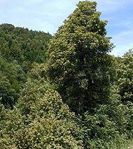 Tanoak Genus Common Trees Of The Pacific Northwest Magnolia Tree Landscaping Teddy Bear Magnolia Magnolia Trees