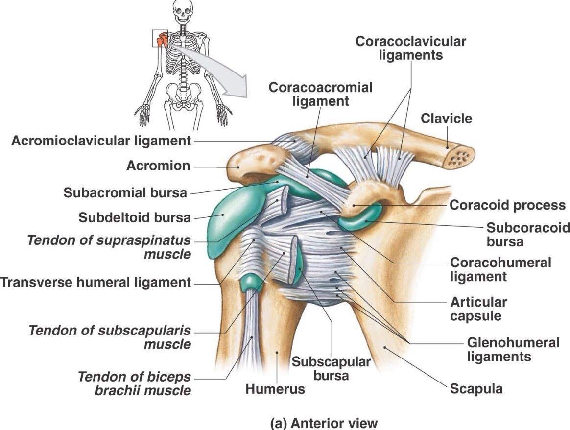 Bursa and ligament of the anterior shoulder | Anatomy | Pinterest ...