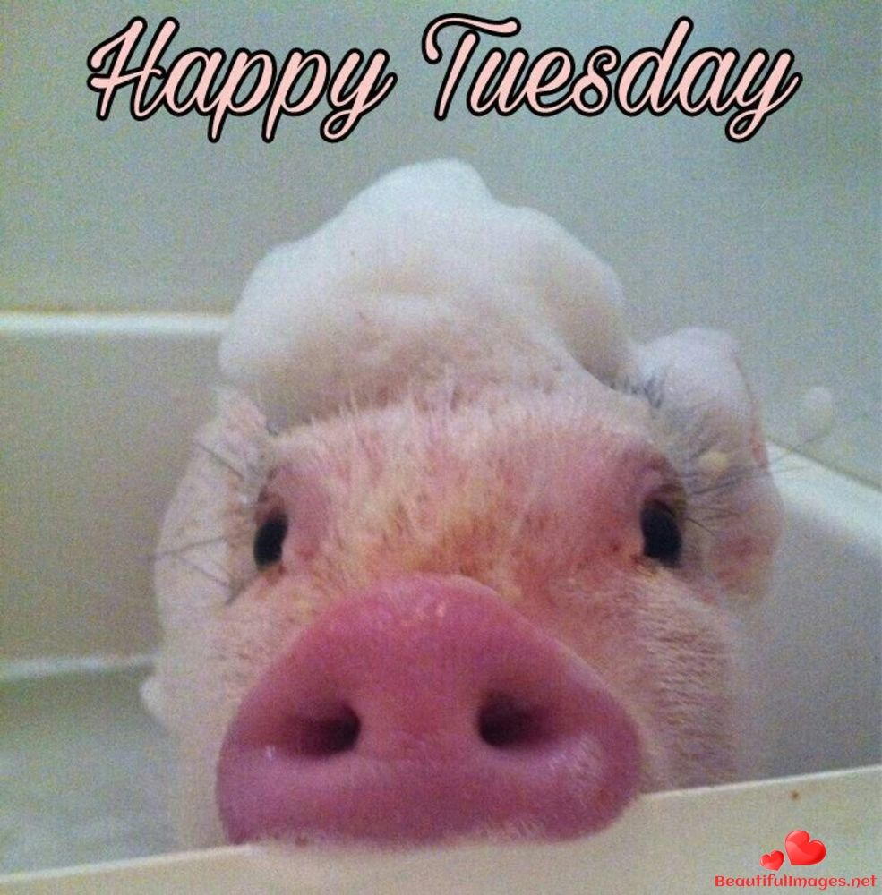 Download For Free Wonderful Tuesday Quotes And Blessings Enjoy Your Day With This Nice Pictures Images And Photos Cute Animals Cute Piggies Cute Baby Animals