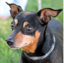 Adopt Nina On Dogs Miniature Pinscher Puppies