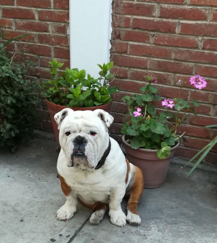 Rooney English Bulldog Bulldog Bully Breeds