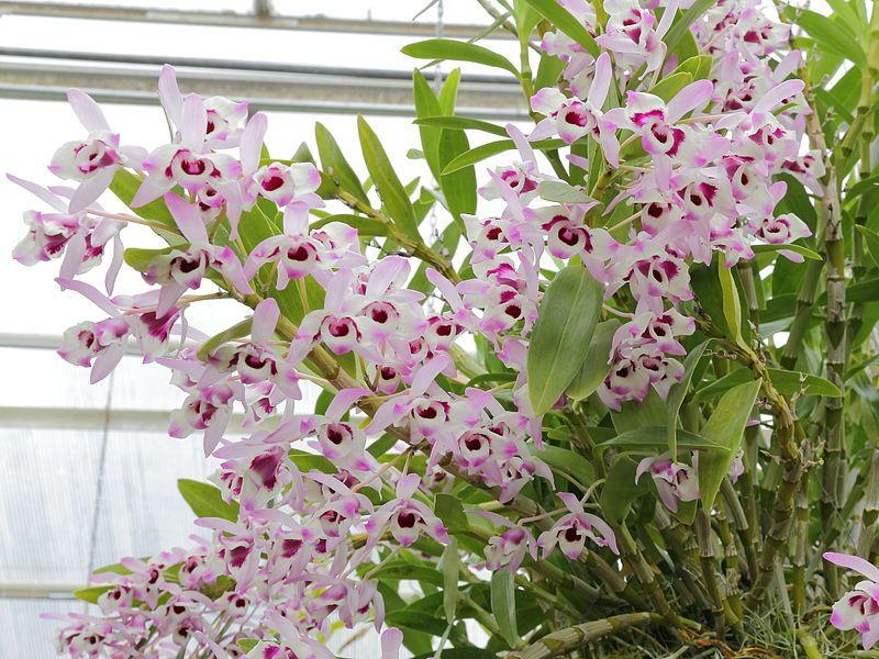 Dendrobium Nobile Orquidea Orquidarios