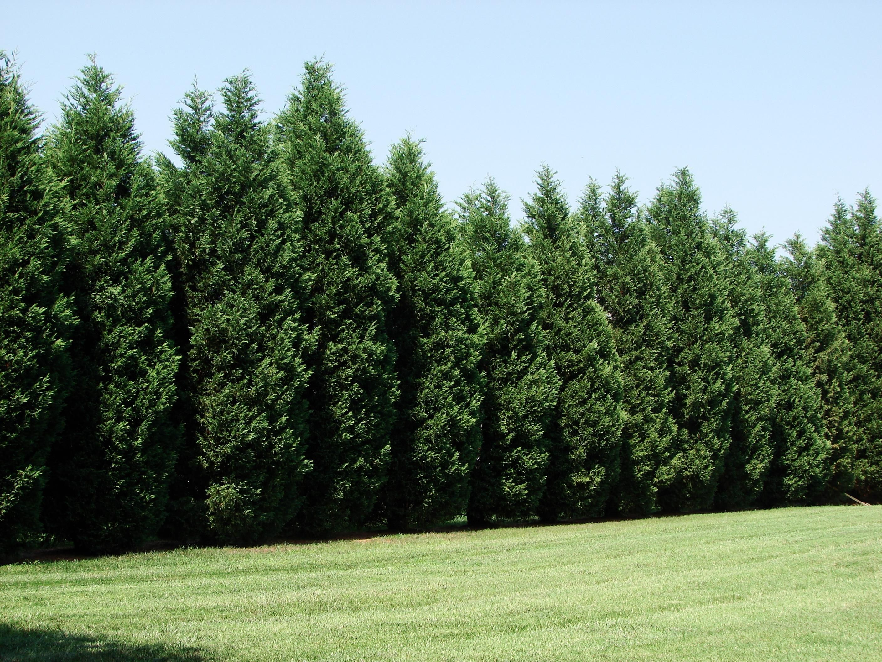 Best shrubs for full sun and privacy - 12 Reasons Proving Leyland Cypress Trees Are Best