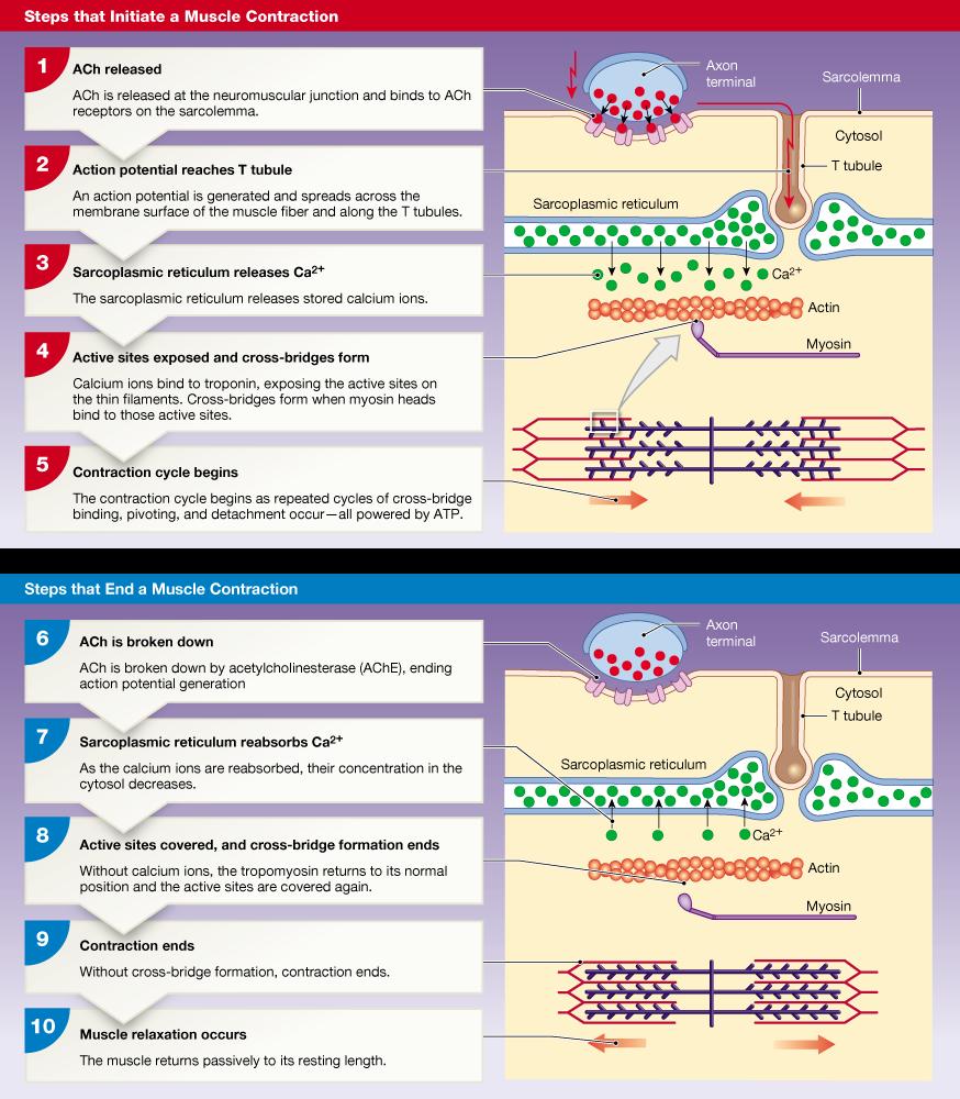 neuron and neuromuscular junction worksheet