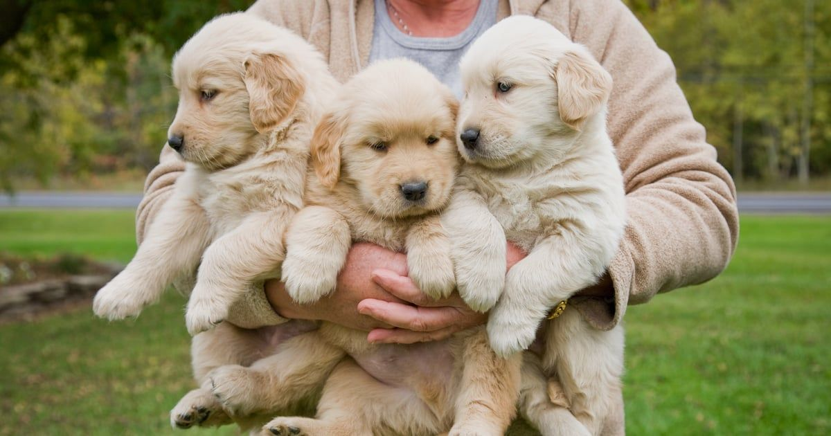 Everything You Need To Know Before Bringing Home A Golden