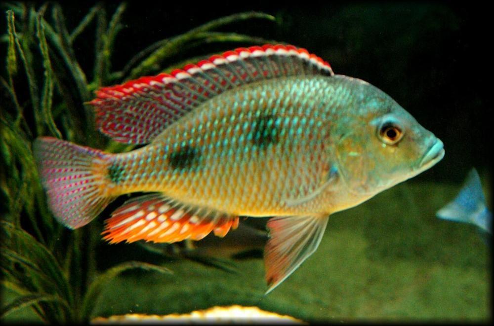 Tramitichromis Intermedius 1 5 In African Cichlid 1 5 In Free Overnight Shipping African Cichlids Saltwater Aquarium Fish Cichlids