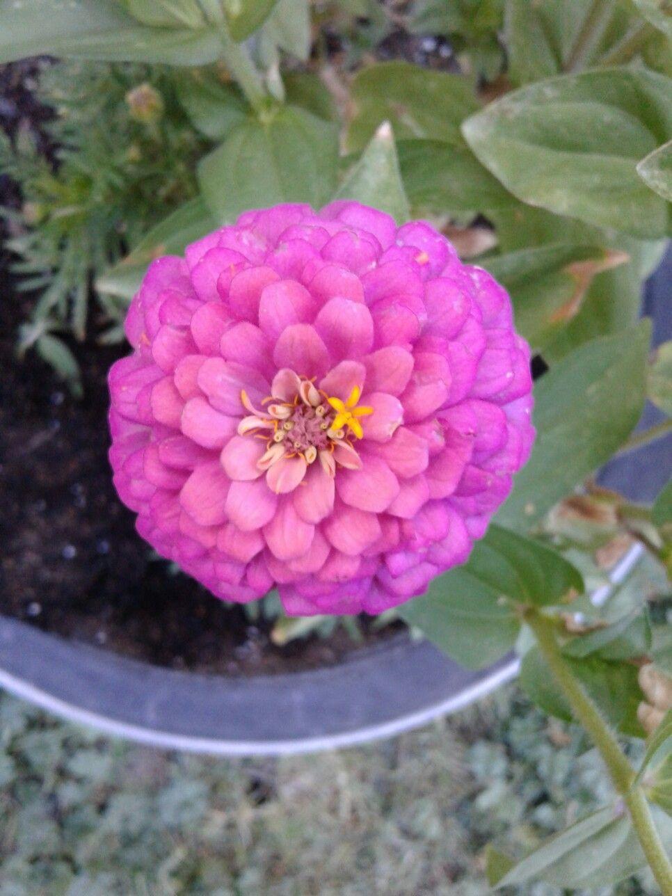 Lady Sasha Danes Favorite Flower Pink Zinnias Naturally