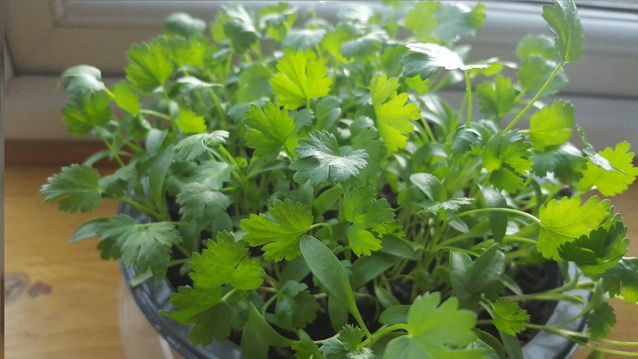 How to grow Coriander at home Growing coriander, Growing