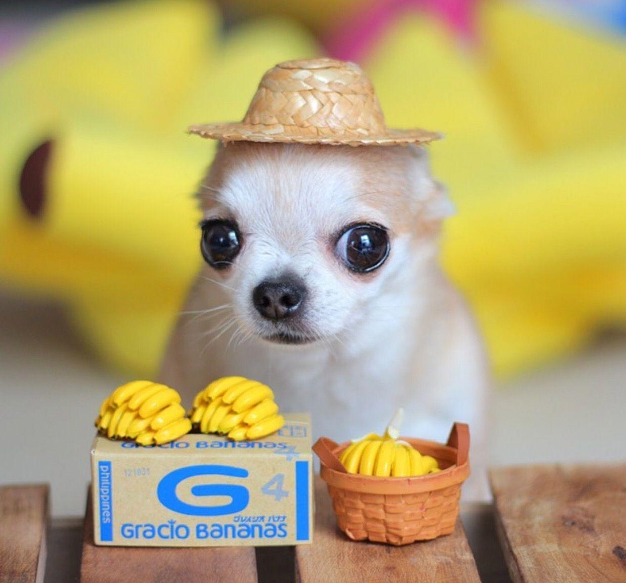Chihuahua Dog Chiwawa Dog Information Cute Animals Cute