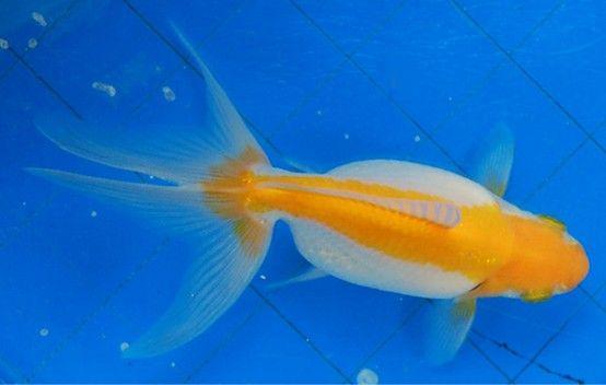 Goldfish Yellow And White Fantail Topview Goldfish Fish Pet Fish