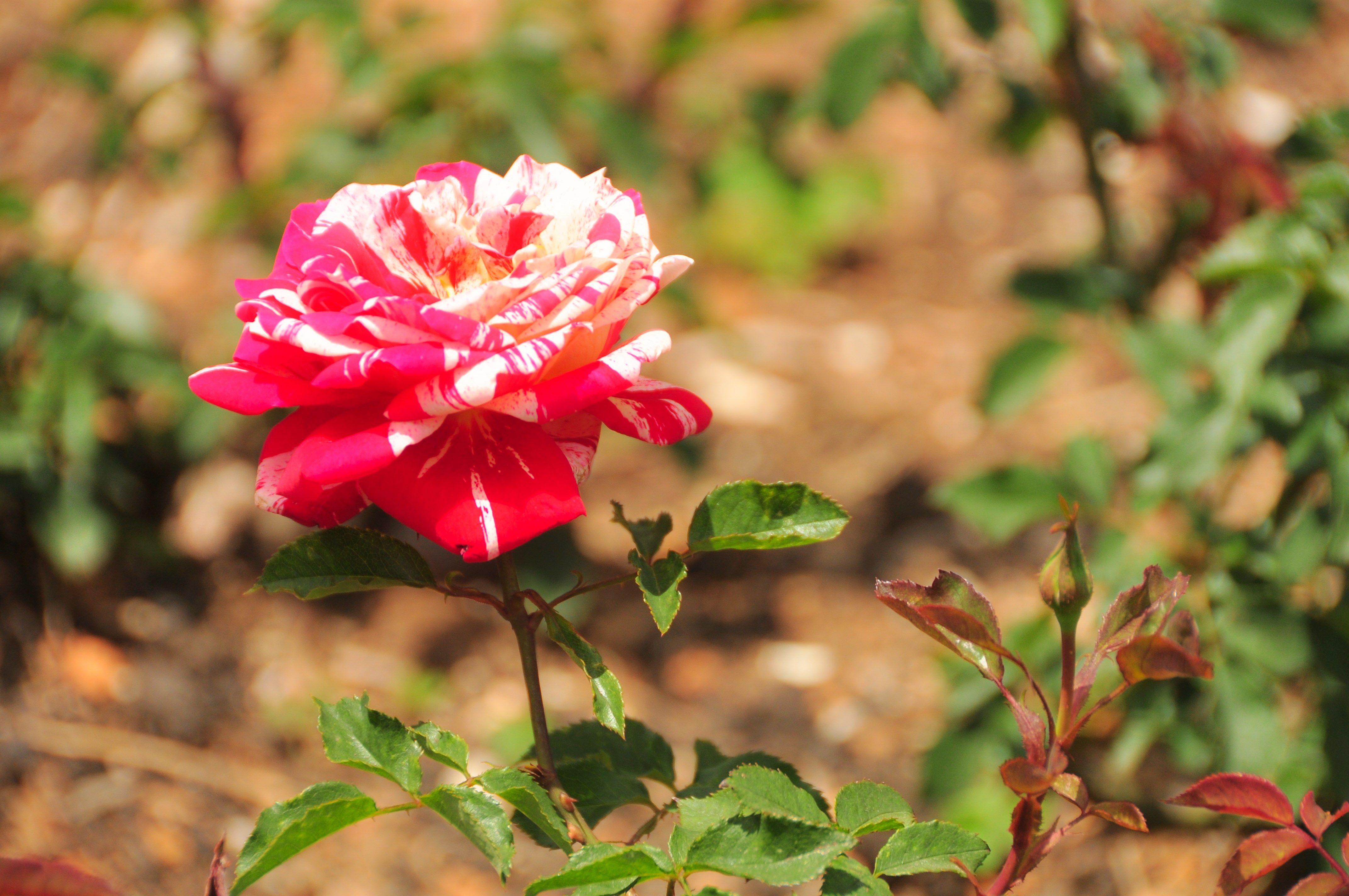 rose 4k wallpaper (4288x2848) Выращивание роз и Розы