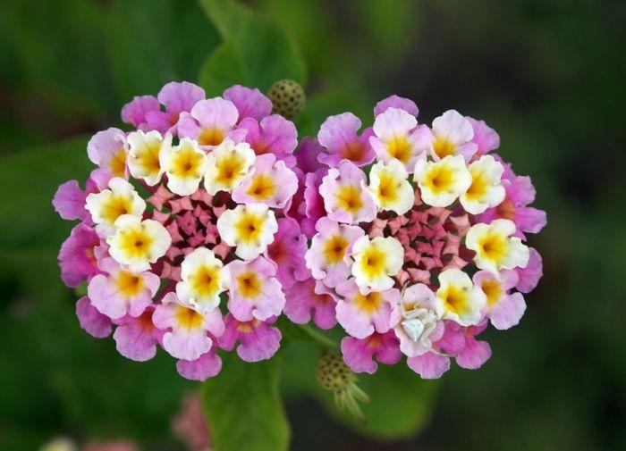 Wandelröschen gartenpflanzen sommerblumen gartenideen - gartenpflanzen