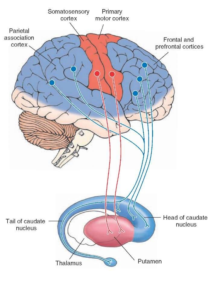 caudate nucleus - Google leit | Brain and SLP | Pinterest | Caudate ...