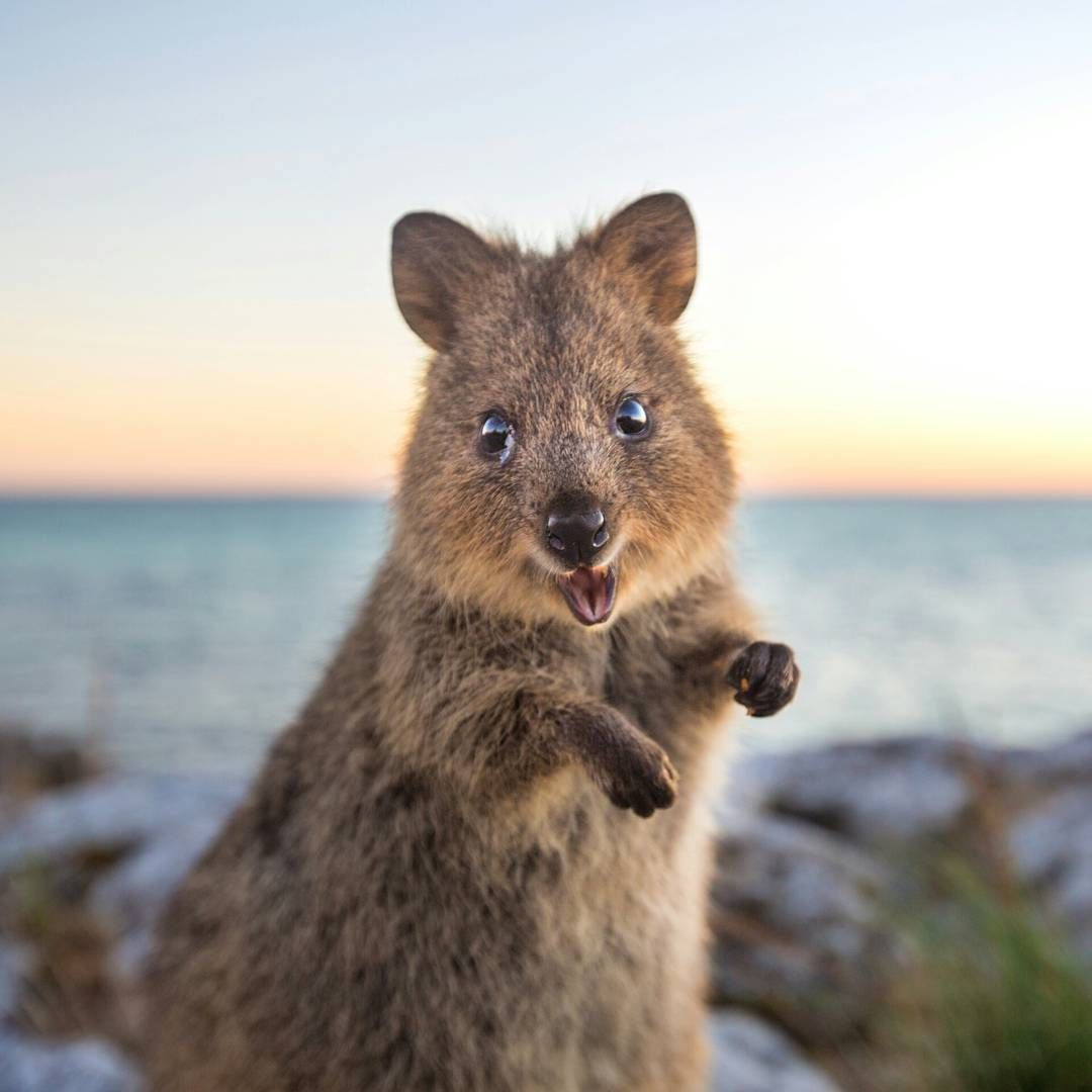19 Reasons Why Quokkas Are The Very Best Antidote To ...
