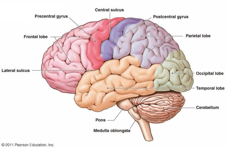 Brain Diagram Labelled The Amazing Human Body Brain In 2019 Human Brain Diagram Brain Anatomy Brain Parts