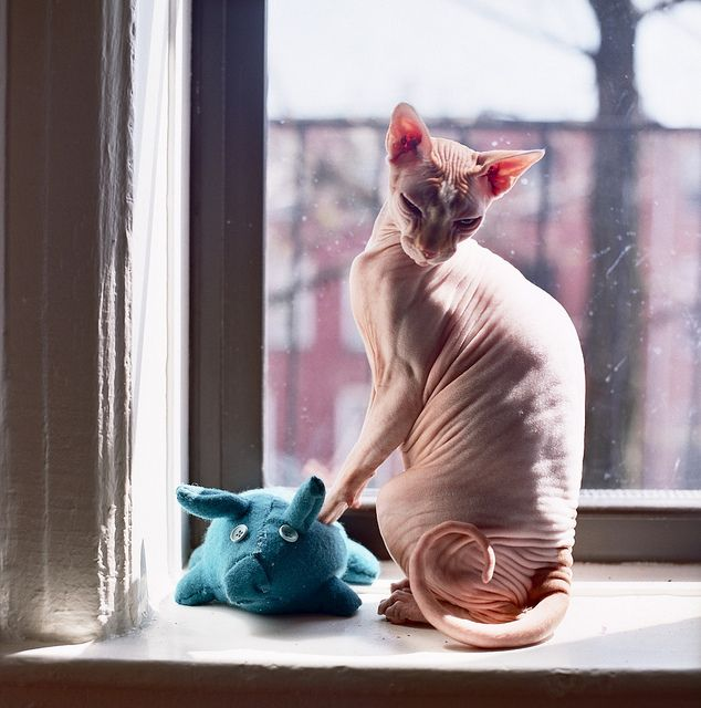 Hairless sphynx cat in a sunny window :)