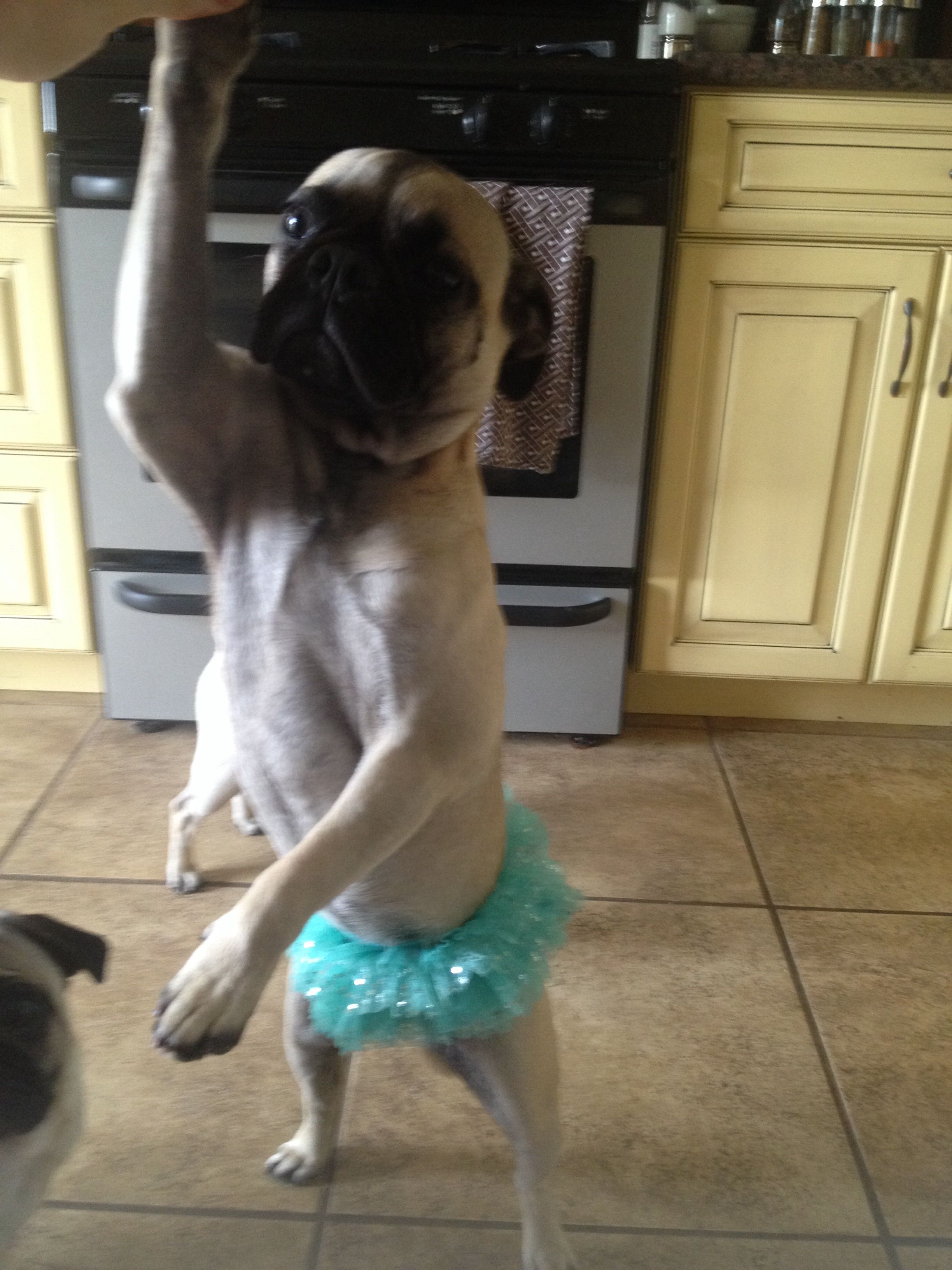 May I Have This Dance Pug Pugs Dogs Animals