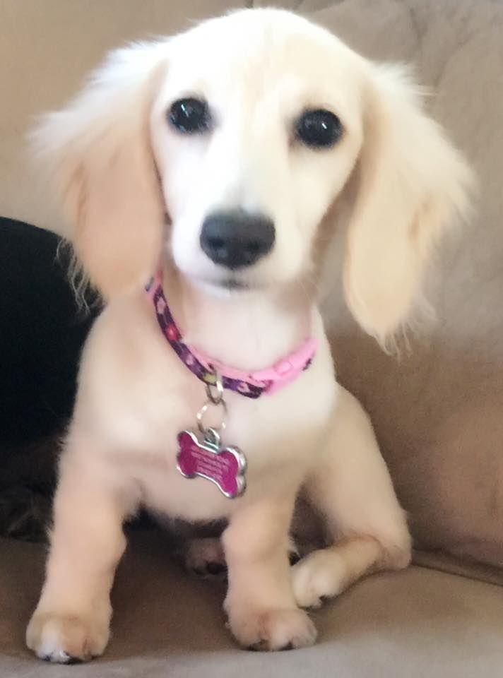Absolutely Beautiful Dachshund Puppy Funny Baby Dachshund