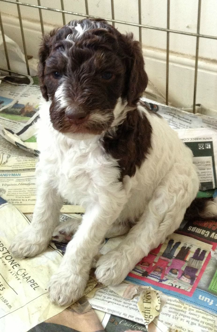 Brown And White Parti Girl Poodle Dog Standard Poodle Poodle