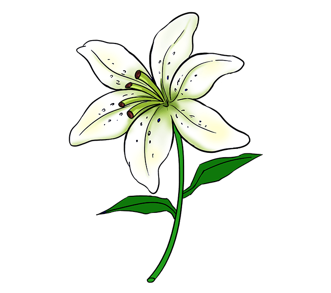 How to Draw a Lily