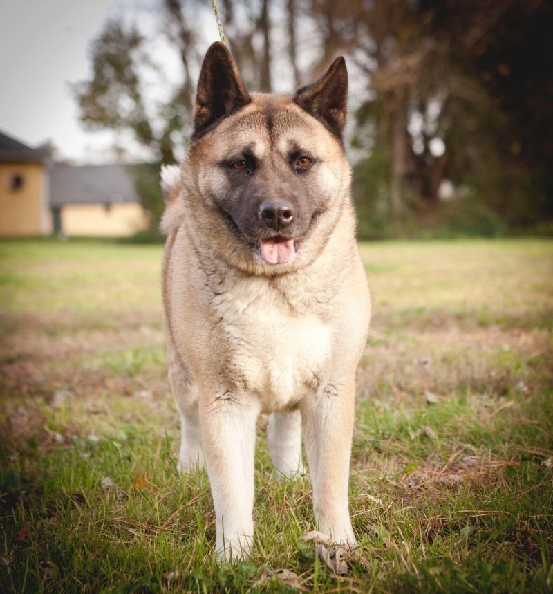 Adopt Gemma On Akita Dog Dog Adoption Female Akita