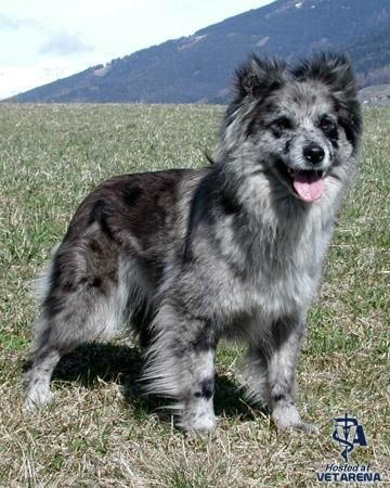 Pyrenean Shepherd Dog Breeds Dogs Purebred Dogs