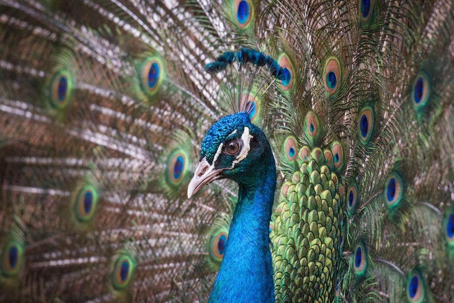 Peafowl by Adnan Khan on 500px