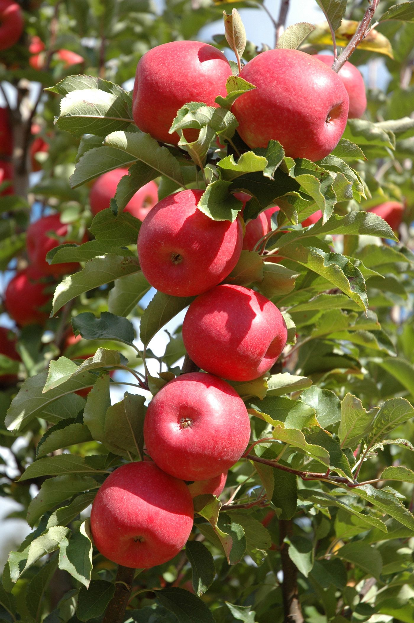 Pinkabelle Apple Plantnet Australia Fruit Apple Fruit Trees