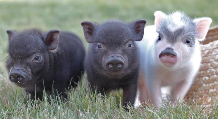 2 week old piglets. The newest batch  of teacup piglets.
