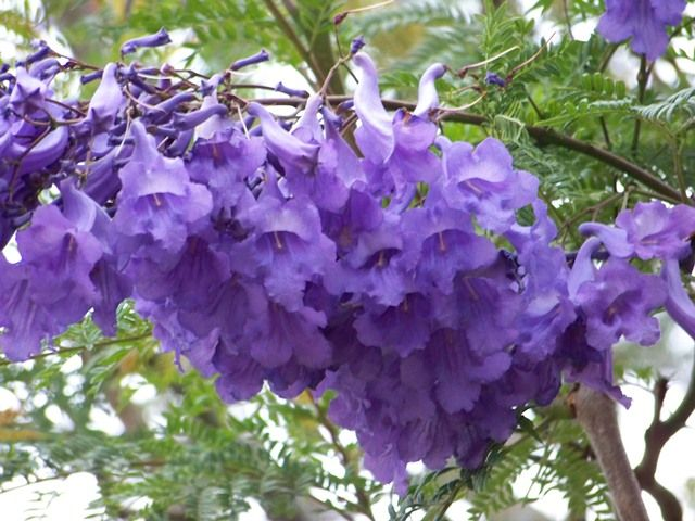 Flora Of Ecuador S Sierra Flowering Trees Tree Identification Jacaranda Tree