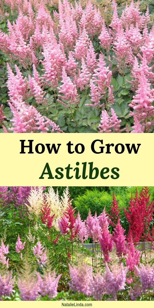 How to Care for Astilbes is part of Beautiful flowers garden, Low maintenance garden, Backyard garden, Shade garden, Backyard garden diy, Backyard garden design - Astilbes can brighten up your shade garden and are even lowmaintenance! Learn what they need to thrive in order to grow in your garden all Summer long!