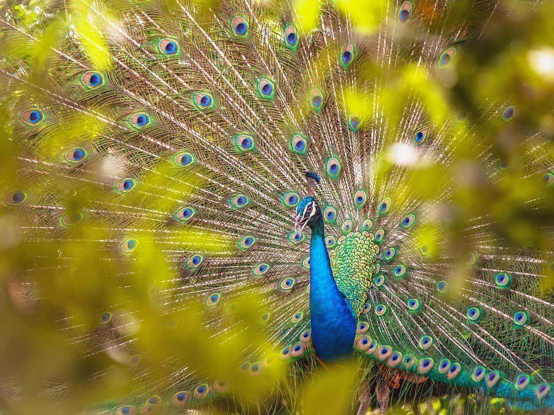 مساءكم مطو س اتمنى تعجبكم جمال طاووس الوان طيور طبيعة كيدا فن هواية نيكون Peacock Bird Vivid Colors Nature Nikon Heaven Art Kida