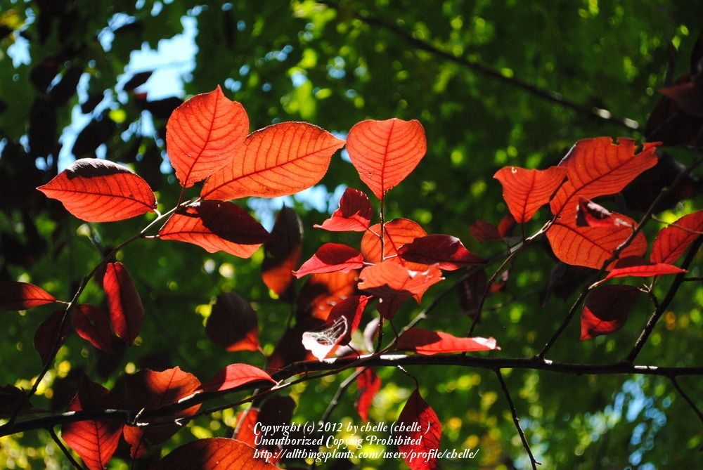 """Typical autumn foliage for most of the Prunus (cherry, almond, plum) group. This bird cherry variety though, appears to have this colour in the height of summer! [from original pin: """"Photo of European Bird Cherry (Prunus padus 'Summer Glow') uploaded by chelle""""]"""