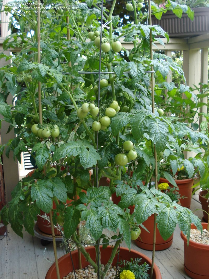 Full Garden In Backyard: Full Size Picture Of Tomato 'Husky Cherry Red