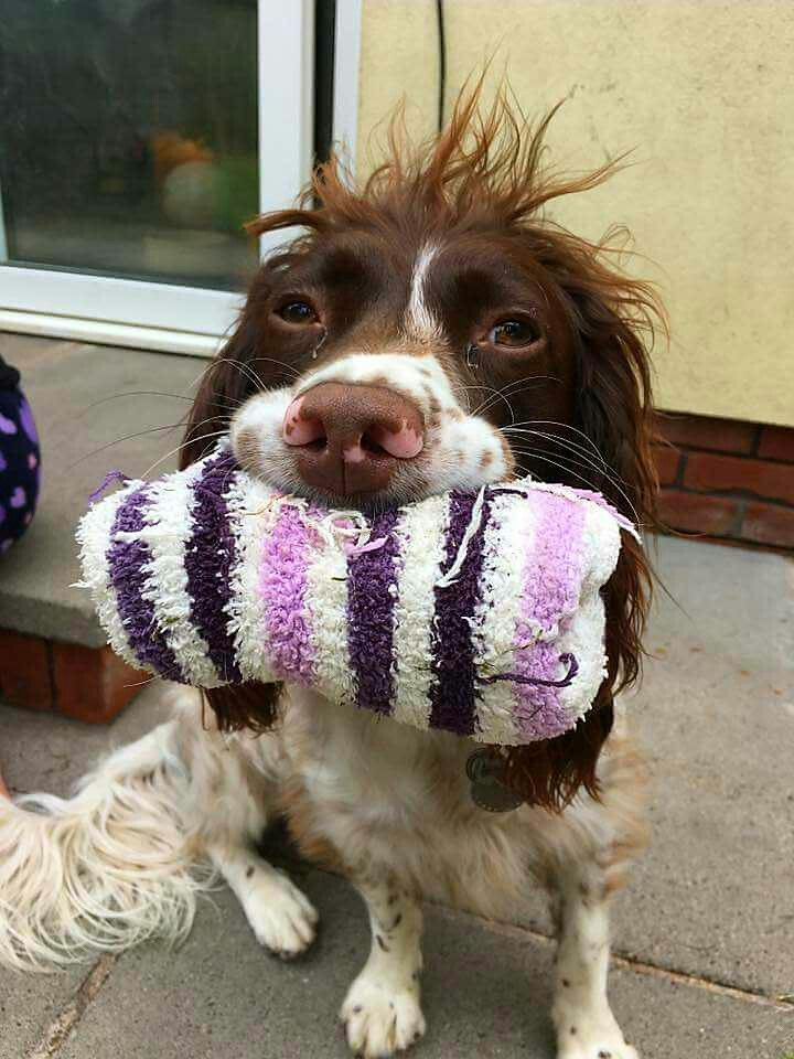Springer Spaniel Why Whats Wrong With My Hair English Springer Spaniel Springer Spaniel Spaniel