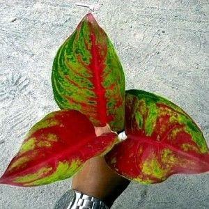 Red Krakatau Jenis Tanaman Hias Bunga Aglaonema Terindah Tanaman Hias Daun Tanaman Bunga