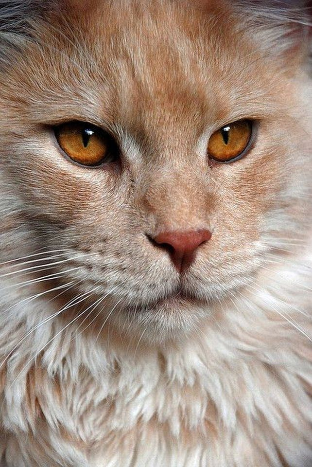 Pin by Bobby Schaefer Schaef Designs on Cat Portraits
