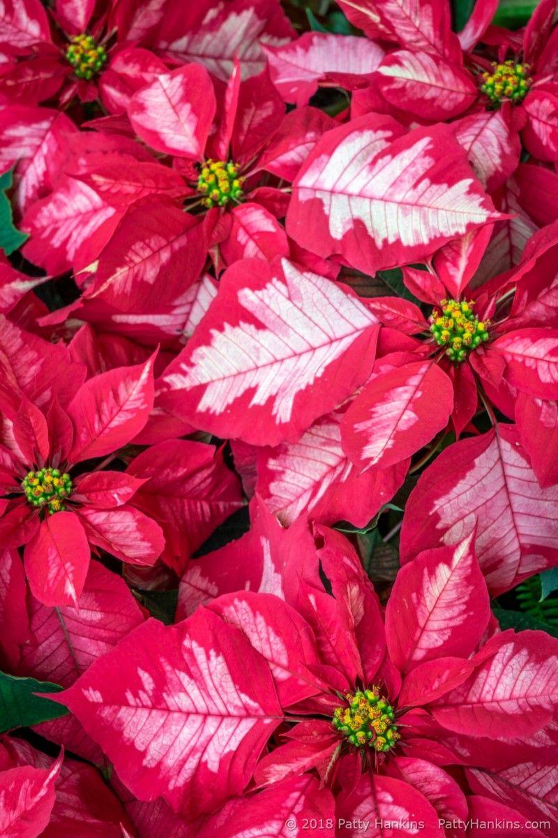 Christmas At Longwood Gardens 2018 Poinsettia Longwood Gardens