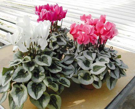 Fioriere d autunno ecco quali piante mettere sul balcone for Fiori primaverili da balcone