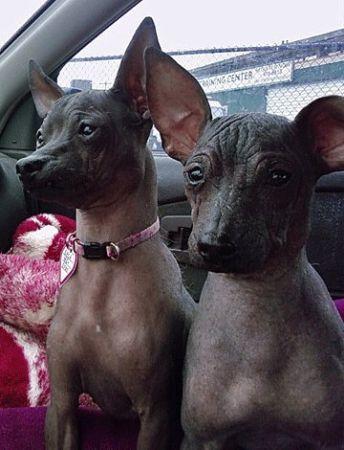 Xolo S For Adoption Kevin Said No Damnit I Want These Boys Xoloitzcuintli Hairless Dog Mexican Hairless Dog
