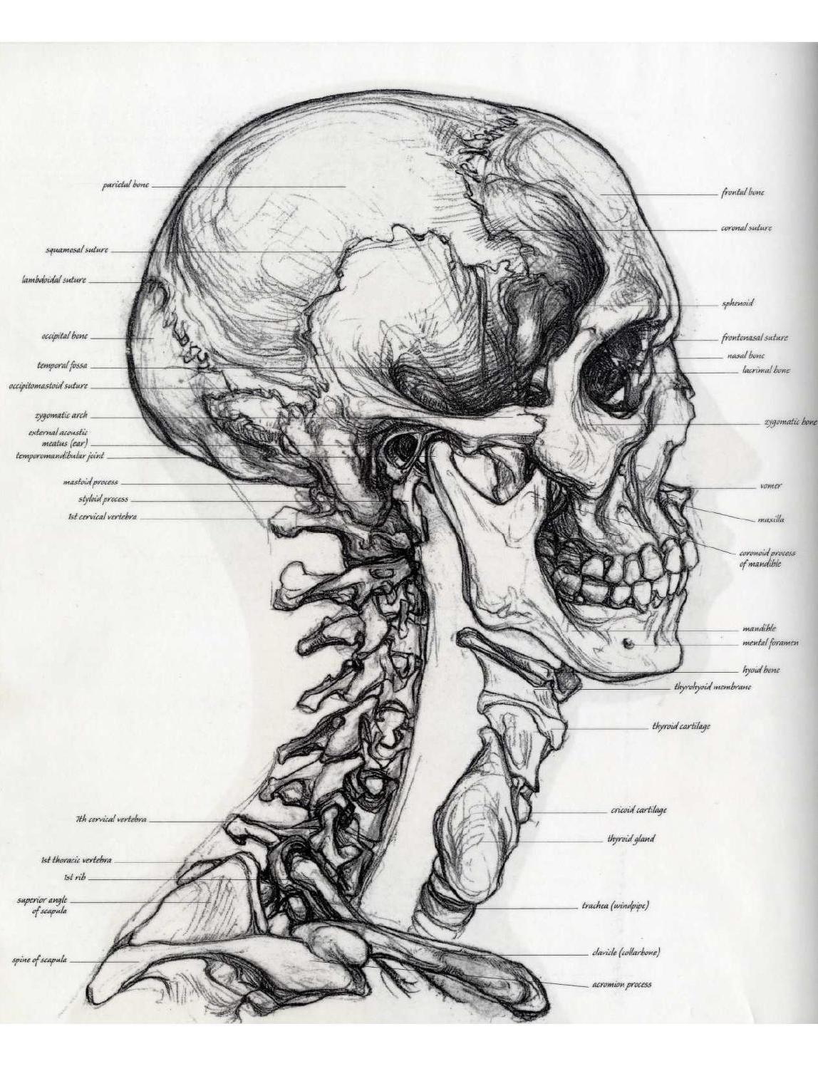 Anatomía para el Artista - Sarah Simblet | Morfologia | Pinterest ...