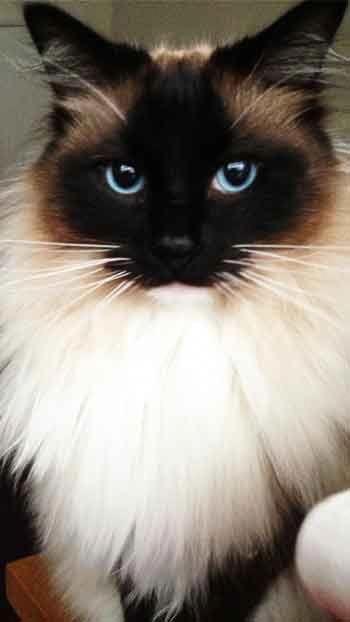Ragdoll Cat Mobile Wallpaper Hd Free Download Prettycats